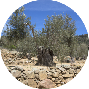 rotonda-olivera