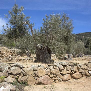 Els olivars
