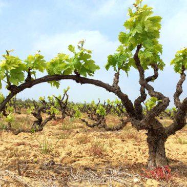 Les vinyes